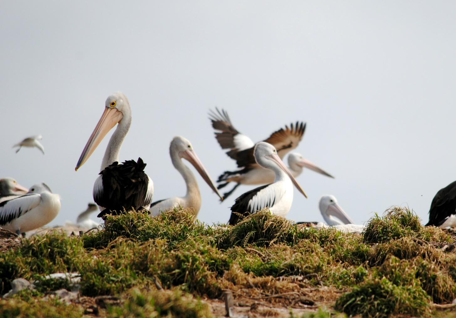 pelicans on Penguin Island